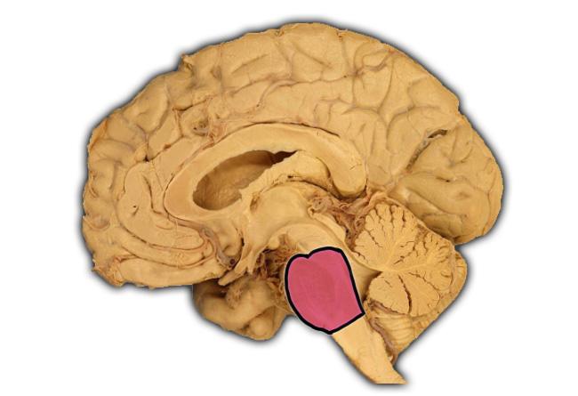 Essential Human Biology : Cells & Tissues : The Brain