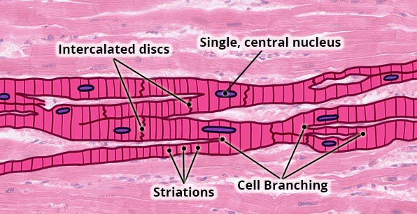 Essential Human Biology   Cells  U0026 Tissues   Muscular Tissue
