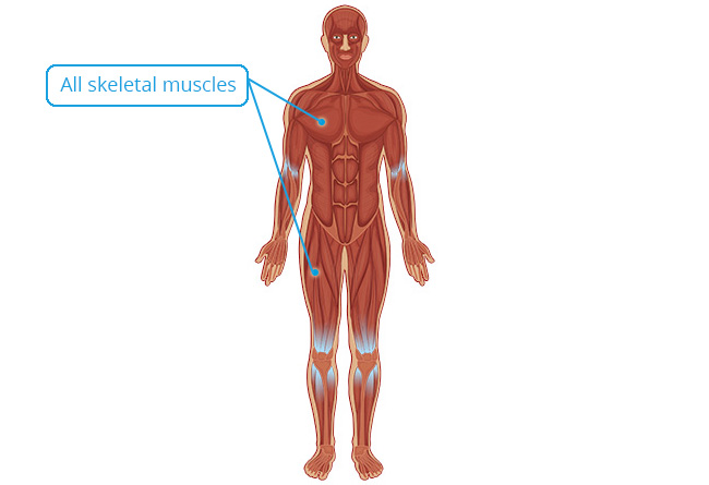 Essential Human Biology : Cells & Tissues : Muscular Tissue