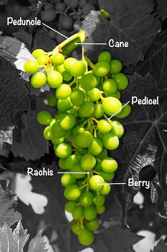 World of Wine :: Grapevine Anatomy